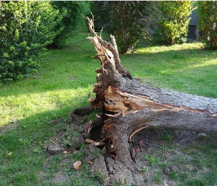 Uprooted tree from Phoenix monsoon